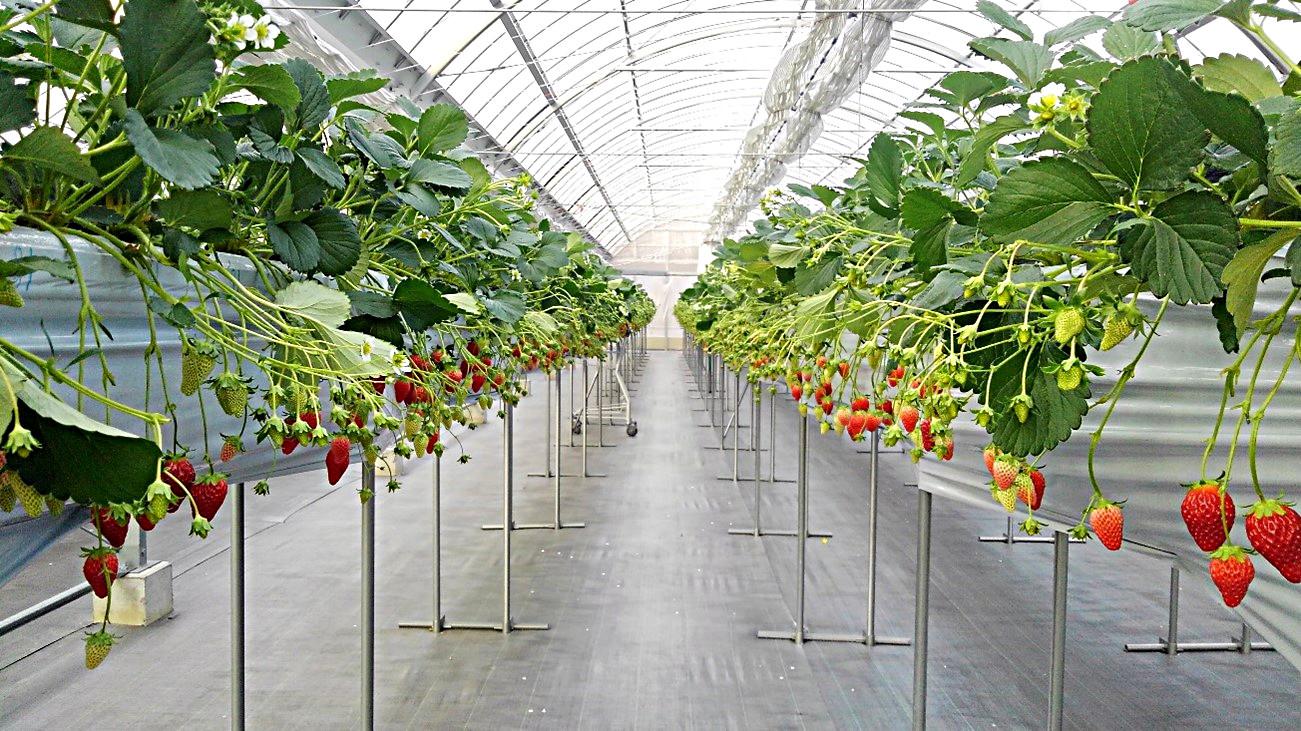 イチゴ高設栽培システム
