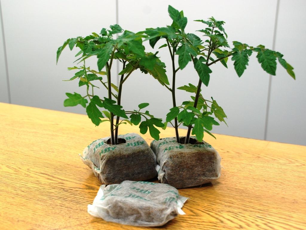 ココバッグ栽培専用トマトTOP苗